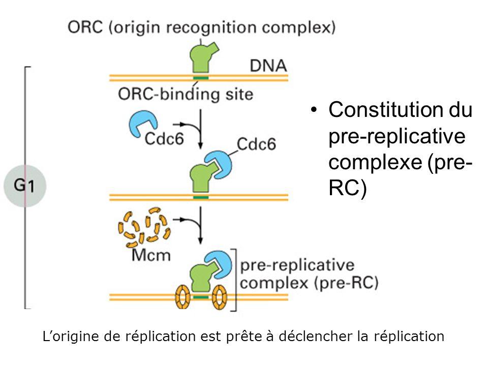 Fig 17-22 Constitution du pre-replicative complexe (pre-RC) #1p998
