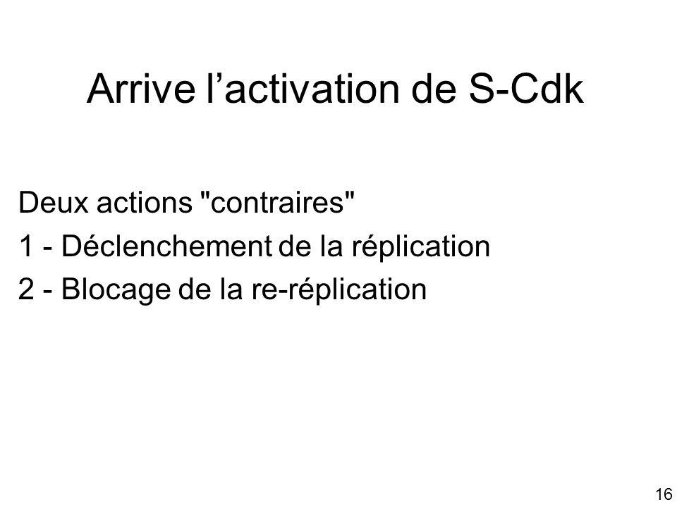 Arrive l'activation de S-Cdk