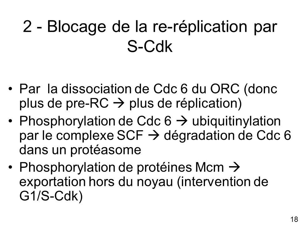 2 - Blocage de la re-réplication par S-Cdk