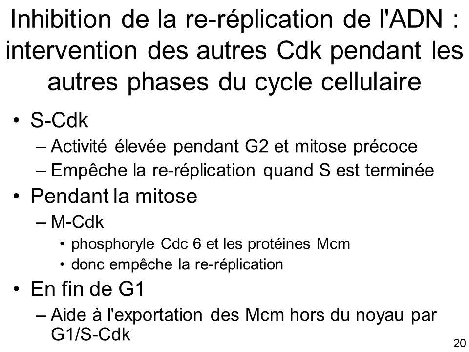 Inhibition de la re-réplication de l ADN : intervention des autres Cdk pendant les autres phases du cycle cellulaire