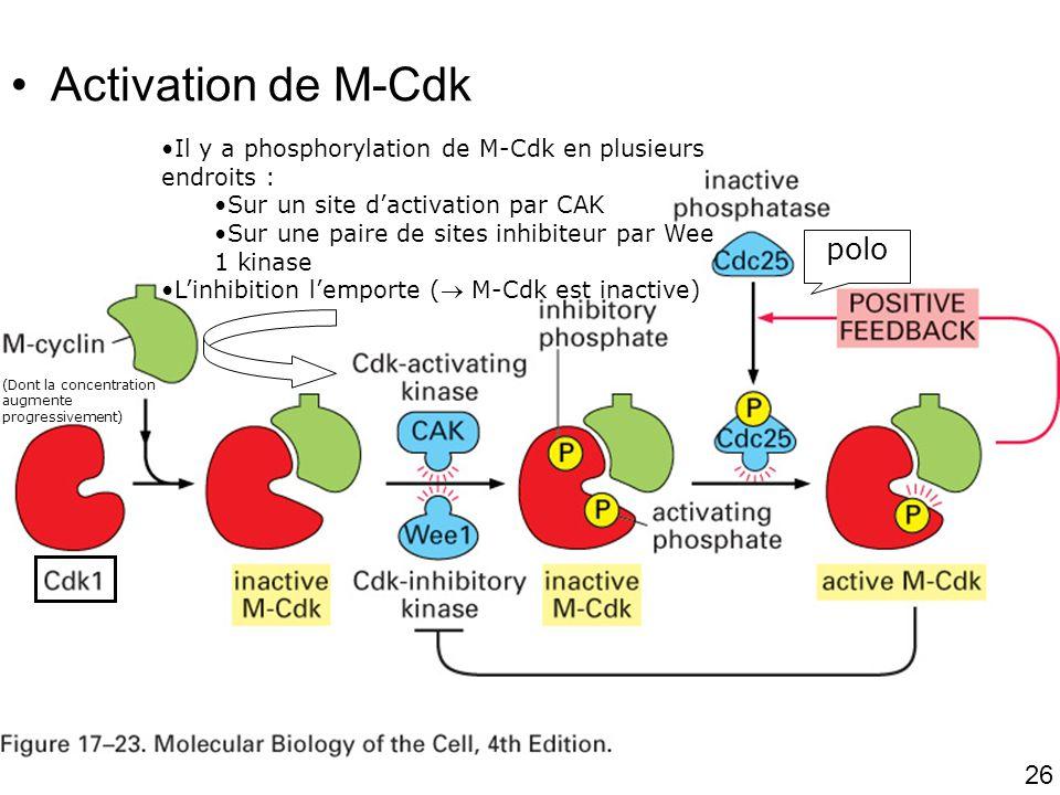 Fig 17-23 Activation de M-Cdk polo #2p1000