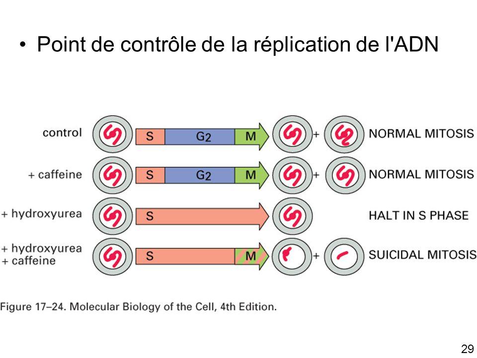 Fig 17-24 Point de contrôle de la réplication de l ADN #3p1000
