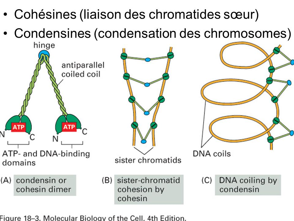 Fig 18-3 Cohésines (liaison des chromatides sœur)