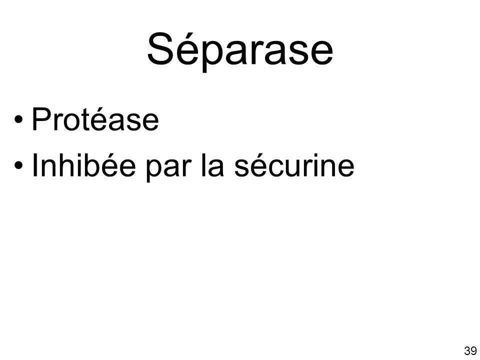 Séparase Protéase Inhibée par la sécurine #5p1001