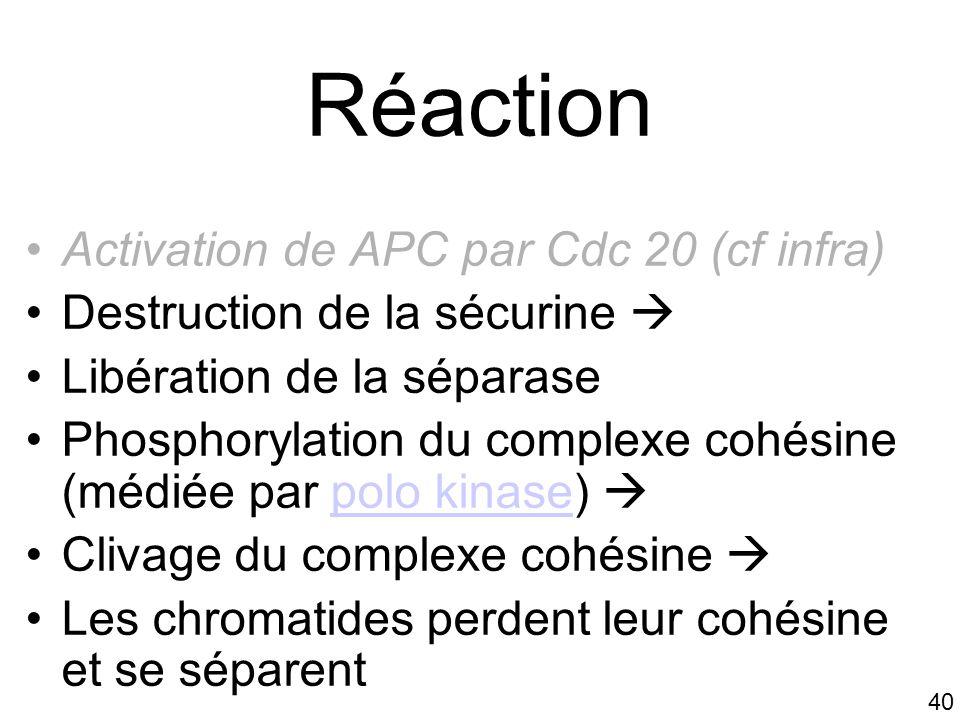 Réaction Activation de APC par Cdc 20 (cf infra)