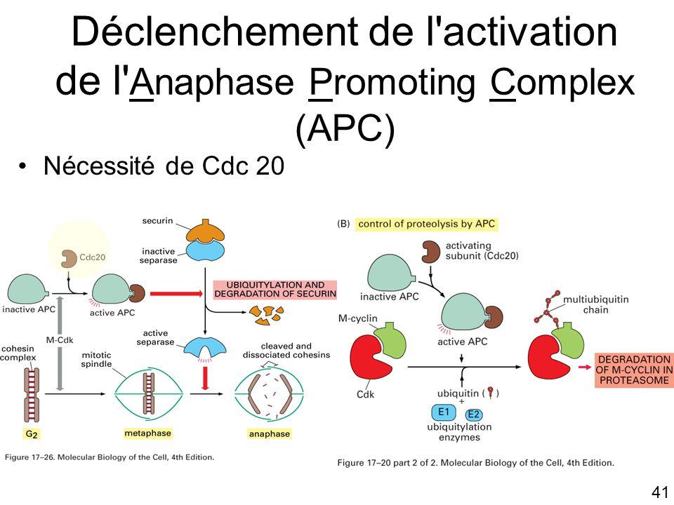 Déclenchement de l activation de l Anaphase Promoting Complex (APC)