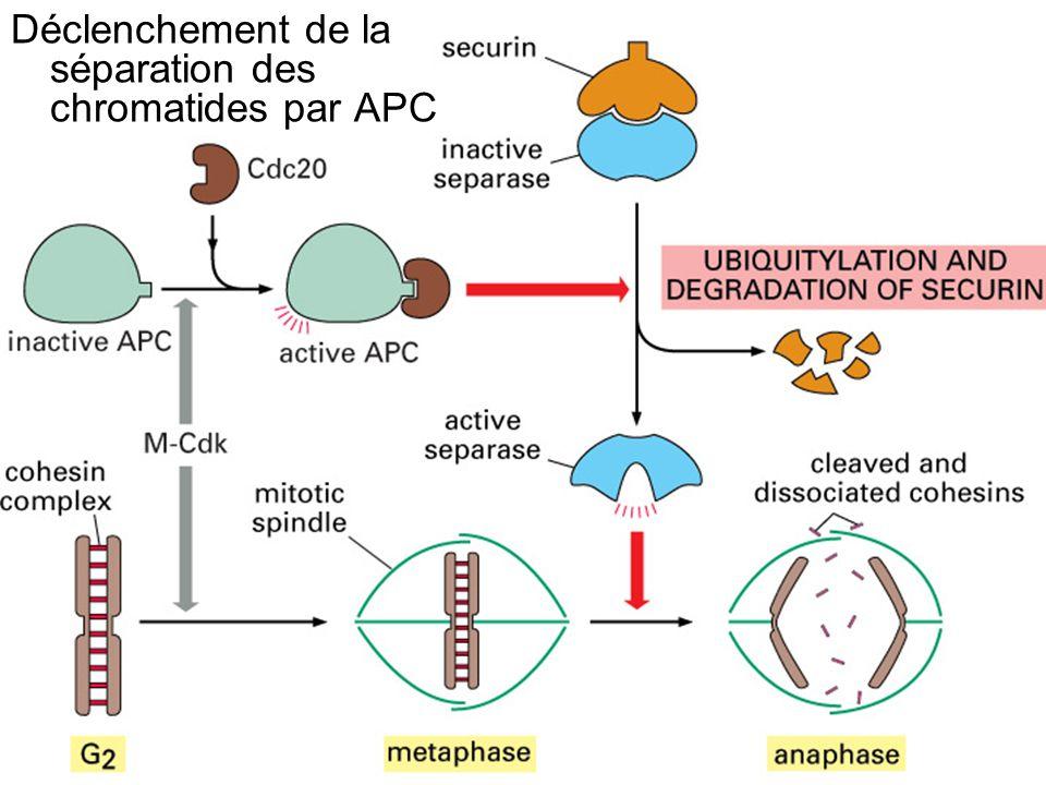 Fig 17-26 Déclenchement de la séparation des chromatides par APC