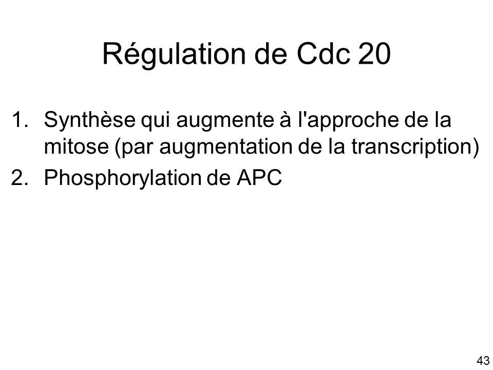 Mardi 23 janvier 2006 Régulation de Cdc 20. Synthèse qui augmente à l approche de la mitose (par augmentation de la transcription)