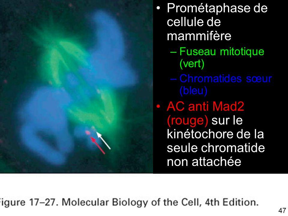 Fig 17-27 Prométaphase de cellule de mammifère