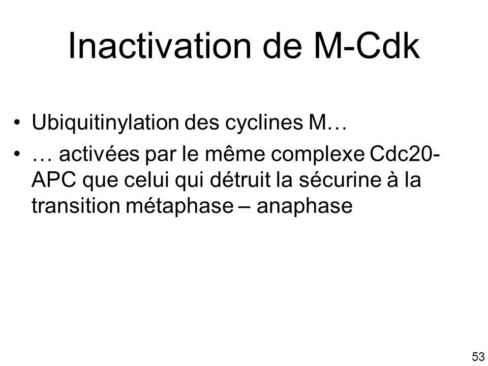 Inactivation de M-Cdk Ubiquitinylation des cyclines M…