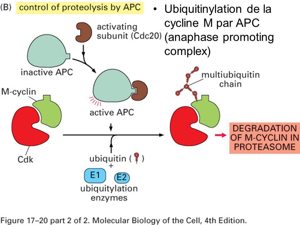 Mardi 23 janvier 2006 Ubiquitinylation de la cycline M par APC (anaphase promoting complex) Fig 17-20.