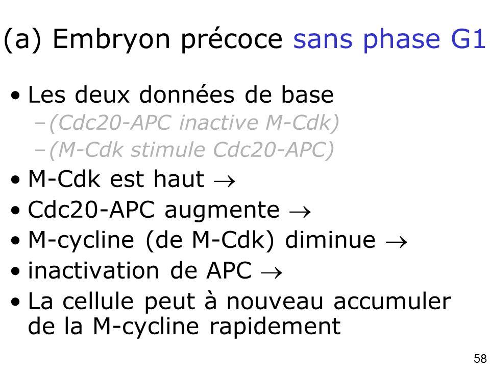 (a) Embryon précoce sans phase G1