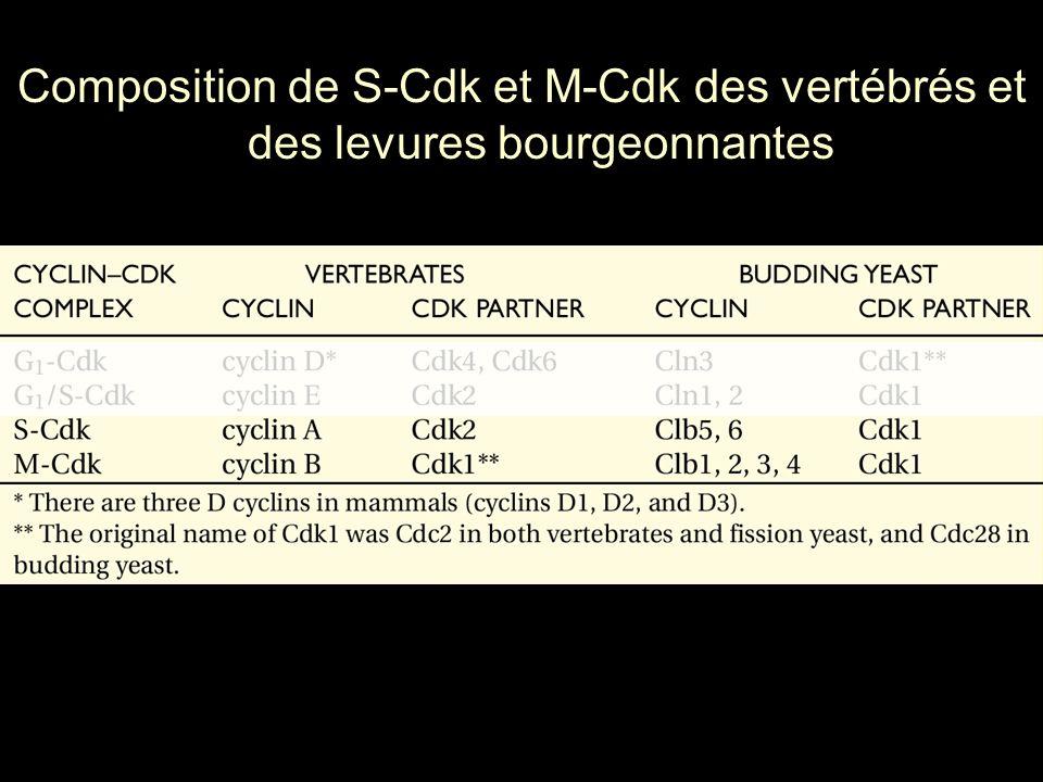 Mardi 23 janvier 2006 Composition de S-Cdk et M-Cdk des vertébrés et des levures bourgeonnantes. Table 17-1.