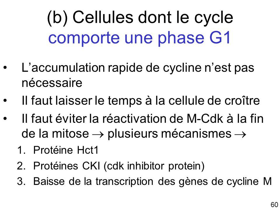 (b) Cellules dont le cycle comporte une phase G1