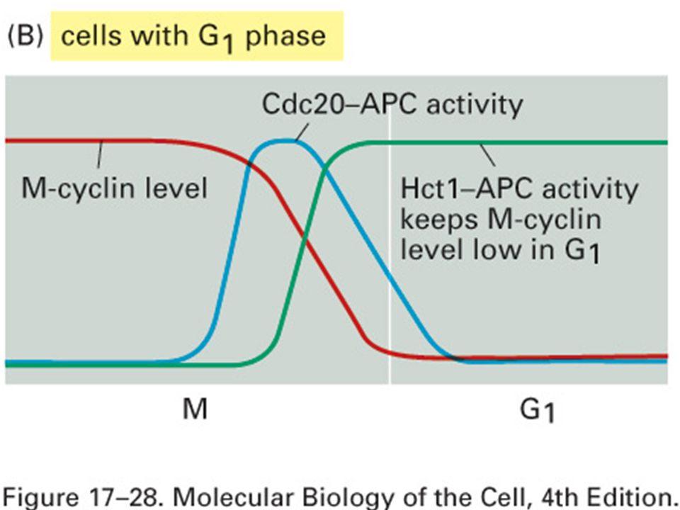 Mardi 23 janvier 2006 Création d'une phase G1 stable dans des cellules avec phase G1.