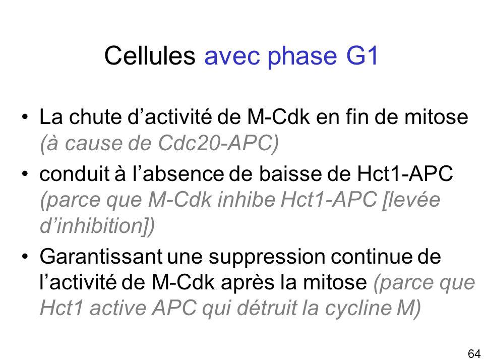 Mardi 23 janvier 2006 Cellules avec phase G1. La chute d'activité de M-Cdk en fin de mitose (à cause de Cdc20-APC)