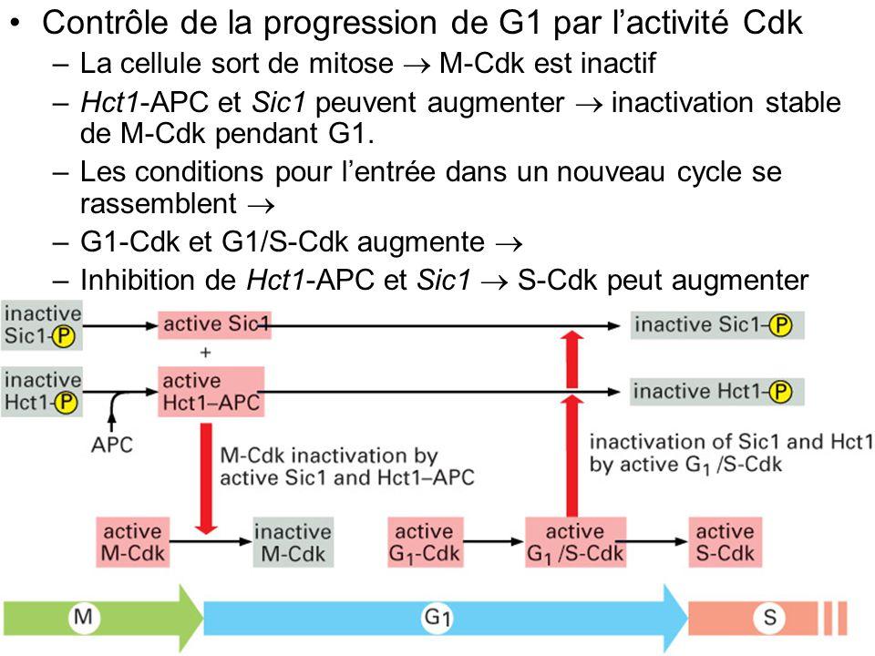 Fig 17-29 Contrôle de la progression de G1 par l'activité Cdk
