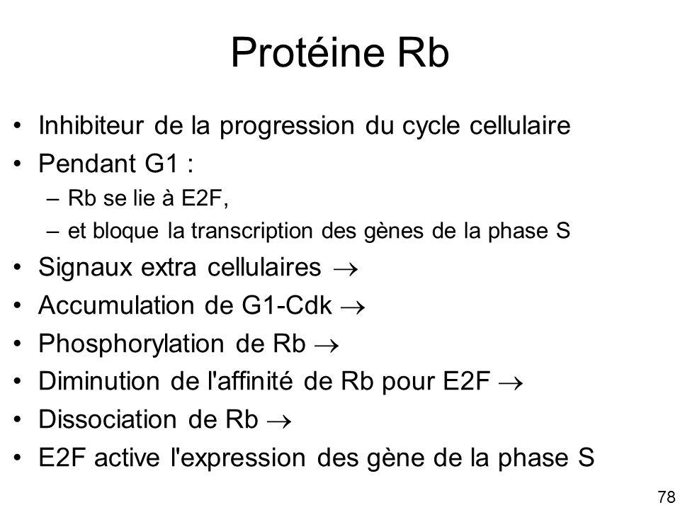 Protéine Rb Inhibiteur de la progression du cycle cellulaire