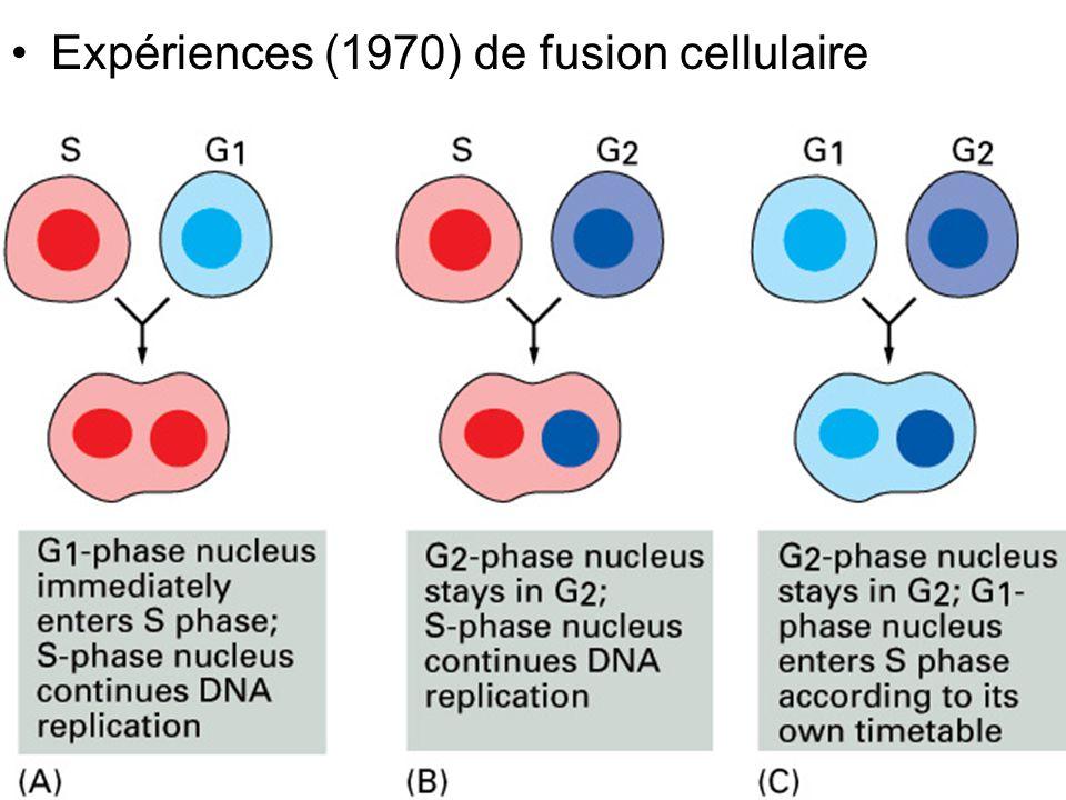 Fig 17-21 Expériences (1970) de fusion cellulaire #1p997