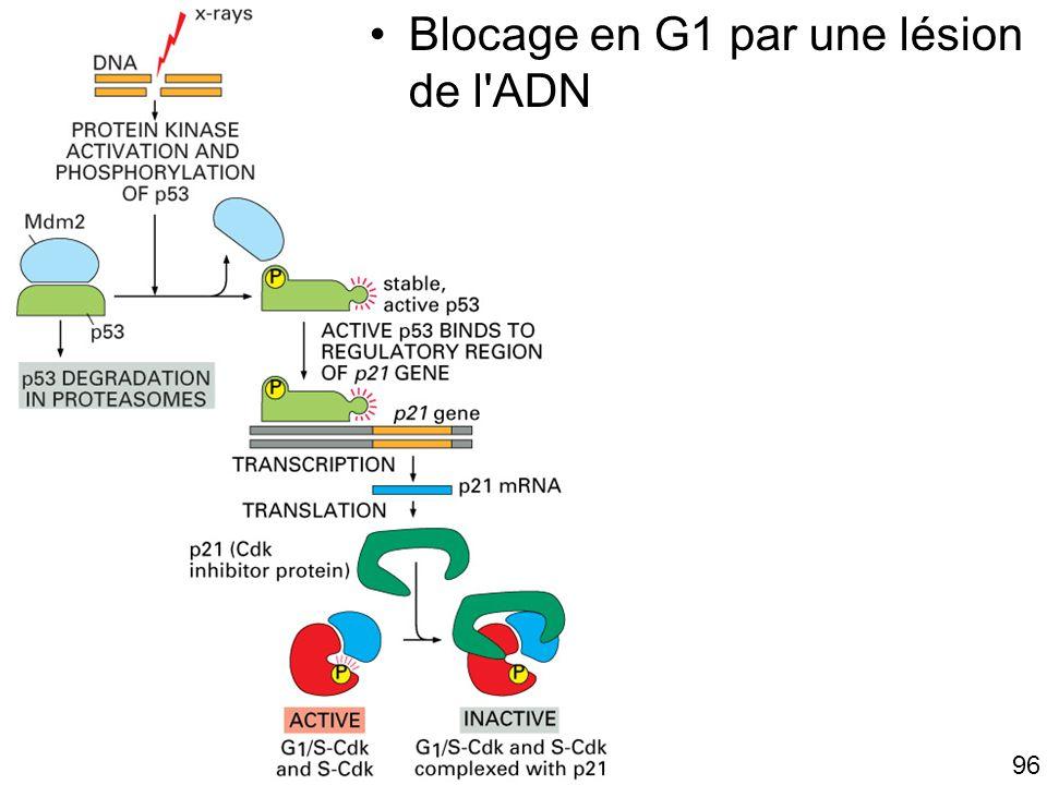 Fig 17-33 Blocage en G1 par une lésion de l ADN #11p1007