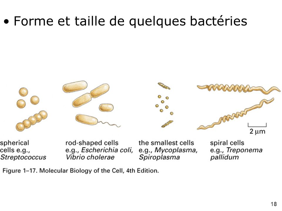 Forme et taille de quelques bactéries