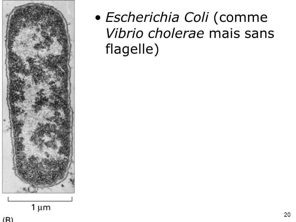 Escherichia Coli (comme Vibrio cholerae mais sans flagelle)