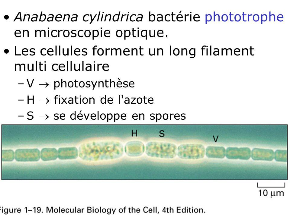 Lundi 9 octobre 2006 Anabaena cylindrica bactérie phototrophe en microscopie optique. Les cellules forment un long filament multi cellulaire.