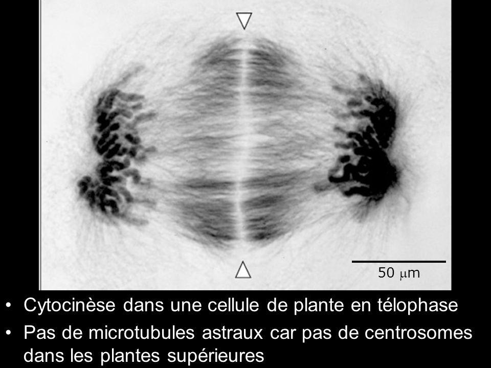 Fig 18-37 Cytocinèse dans une cellule de plante en télophase