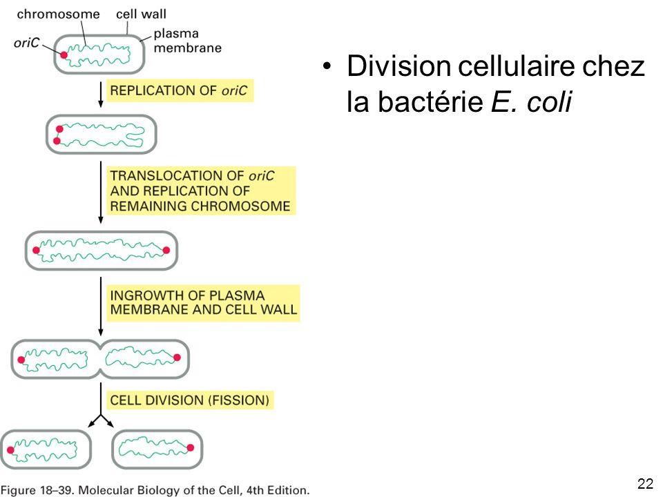 Fig 18-39 Division cellulaire chez la bactérie E. coli