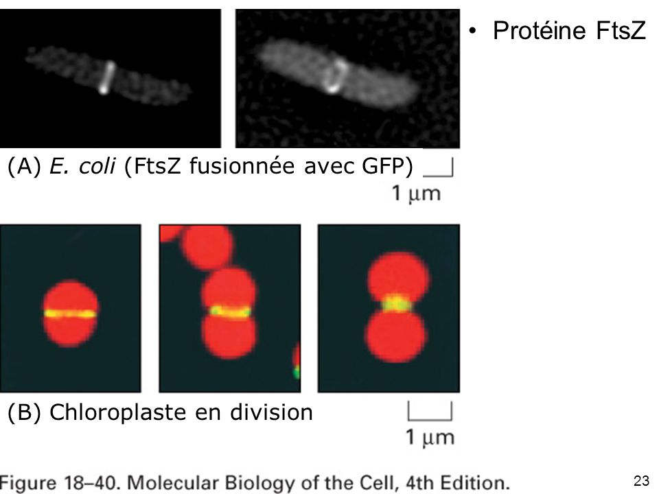 Fig 18-40 Protéine FtsZ (A) E. coli (FtsZ fusionnée avec GFP)