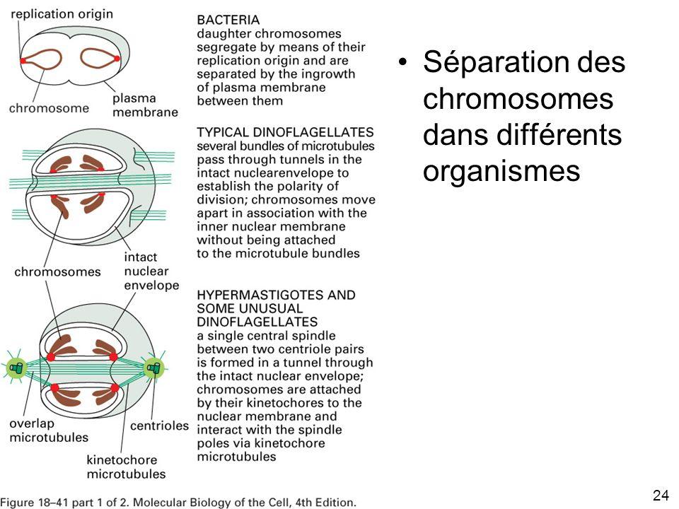 Fig 18-41 Séparation des chromosomes dans différents organismes