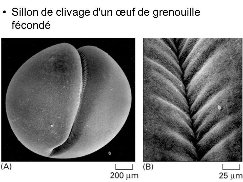 Fig 18-30 Sillon de clivage d un œuf de grenouille fécondé