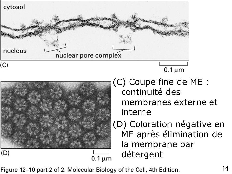 Fig 12-10CD (C) Coupe fine de ME : continuité des membranes externe et interne.