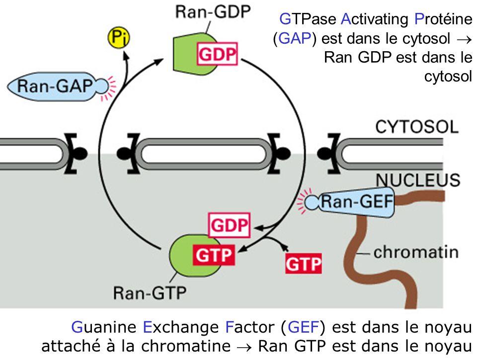 GTPase Activating Protéine (GAP) est dans le cytosol  Ran GDP est dans le cytosol