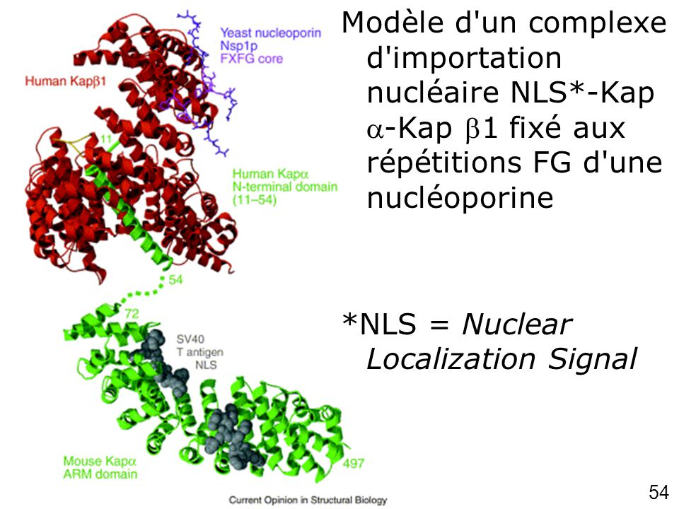 Lundi 26 septembre 2007 Modèle d un complexe d importation nucléaire NLS*-Kap -Kap 1 fixé aux répétitions FG d une nucléoporine.