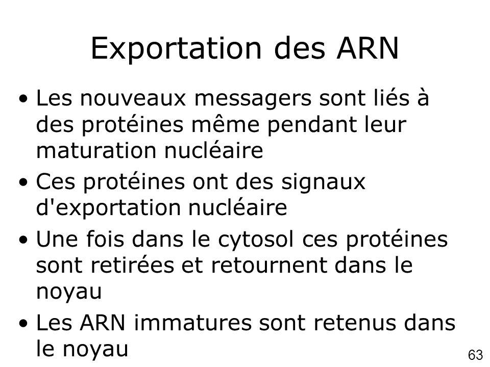 Exportation des ARN Les nouveaux messagers sont liés à des protéines même pendant leur maturation nucléaire.