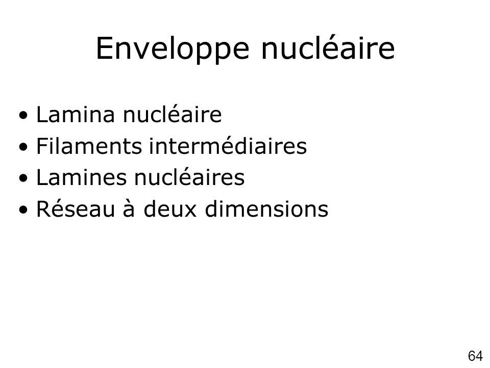 Enveloppe nucléaire Lamina nucléaire Filaments intermédiaires