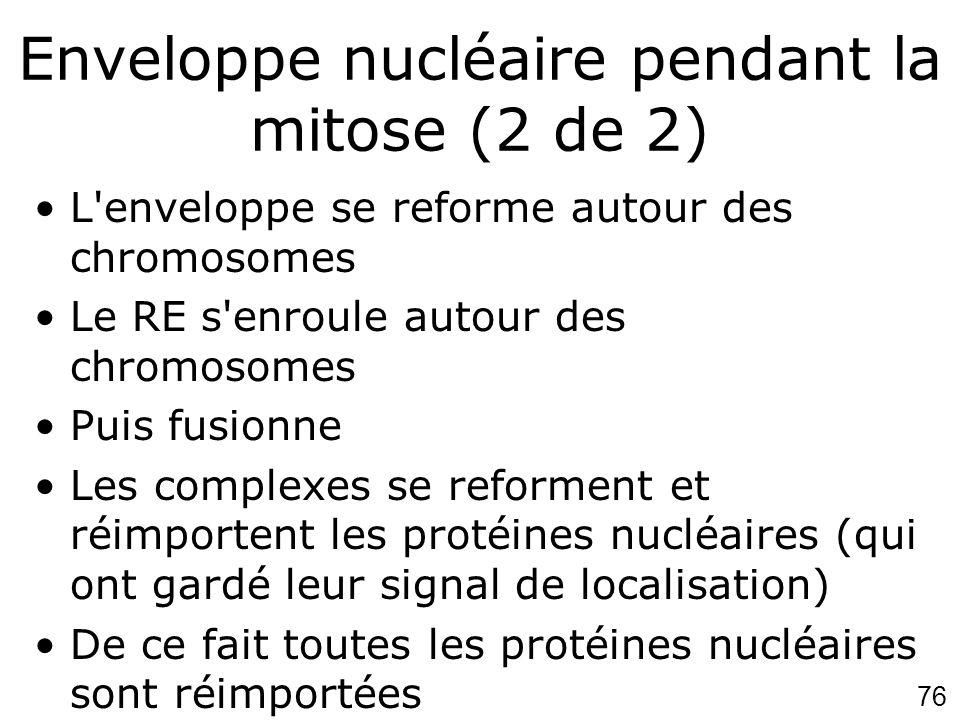Enveloppe nucléaire pendant la mitose (2 de 2)