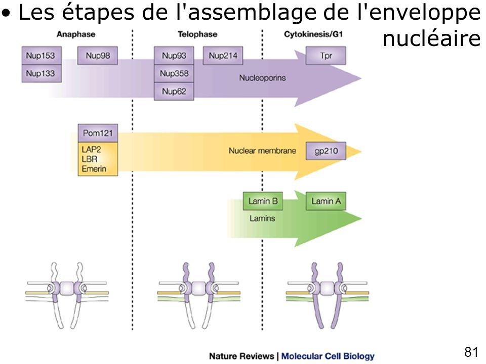 Les étapes de l assemblage de l enveloppe nucléaire