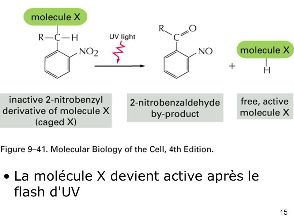 Fig 9-41 Caged molecules La molécule X devient active après le flash d UV