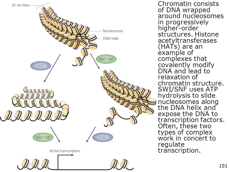 Chromatin consists of DNA wrapped around nucleosomes in progressively higher-order structures. Histone acetyltransferases (HATs) are an example of complexes that covalently modify DNA and lead to relaxation of chromatin structure. SWI/SNF uses ATP hydrolysis to slide nucleosomes along the DNA helix and expose the DNA to transcription factors. Often, these two types of complex work in concert to regulate transcription.