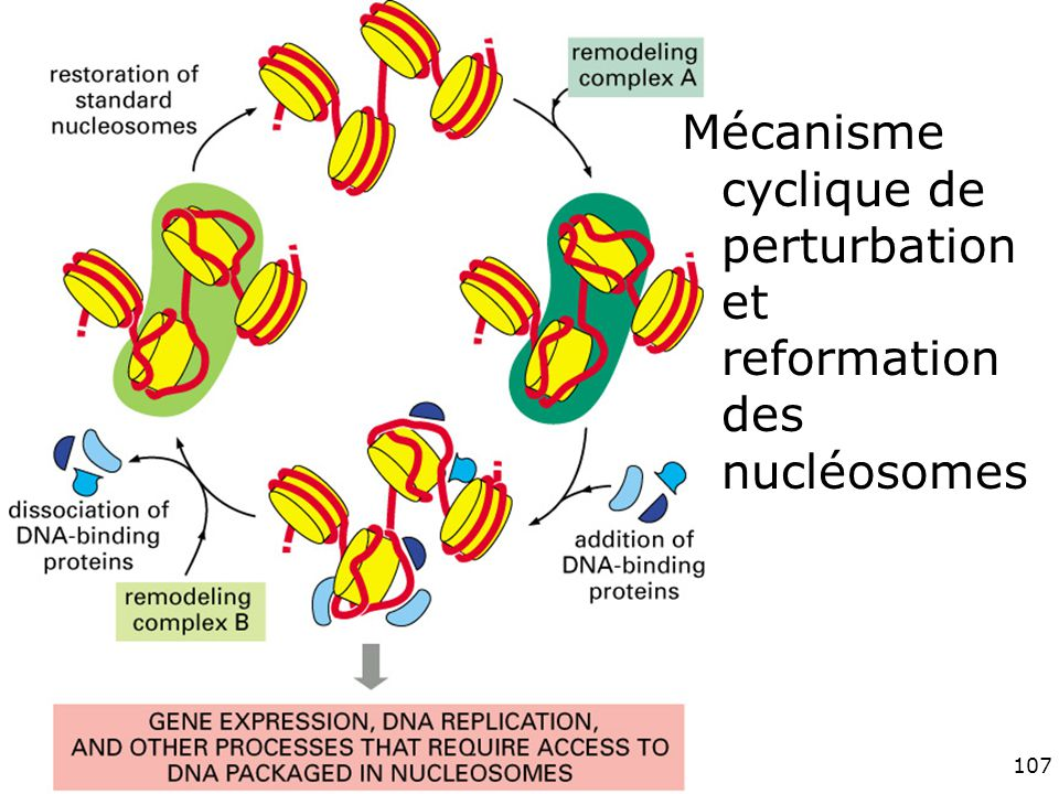 Vendredi 30 novembre 2007 Mécanisme cyclique de perturbation et reformation des nucléosomes.