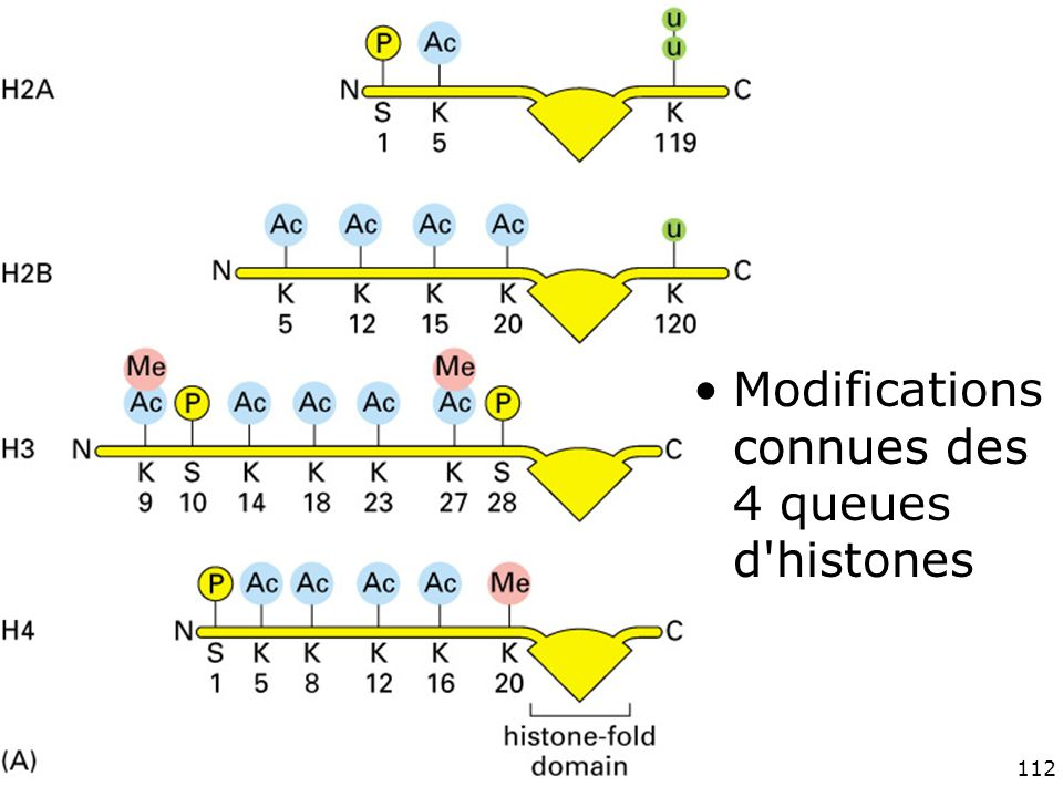 Fig 4-35(A) Modifications connues des 4 queues d histones #13p214