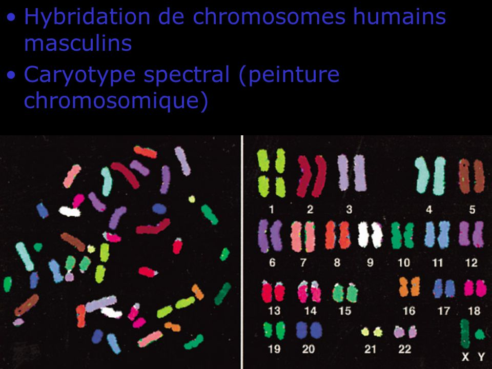 Fig 4-10 Hybridation de chromosomes humains masculins