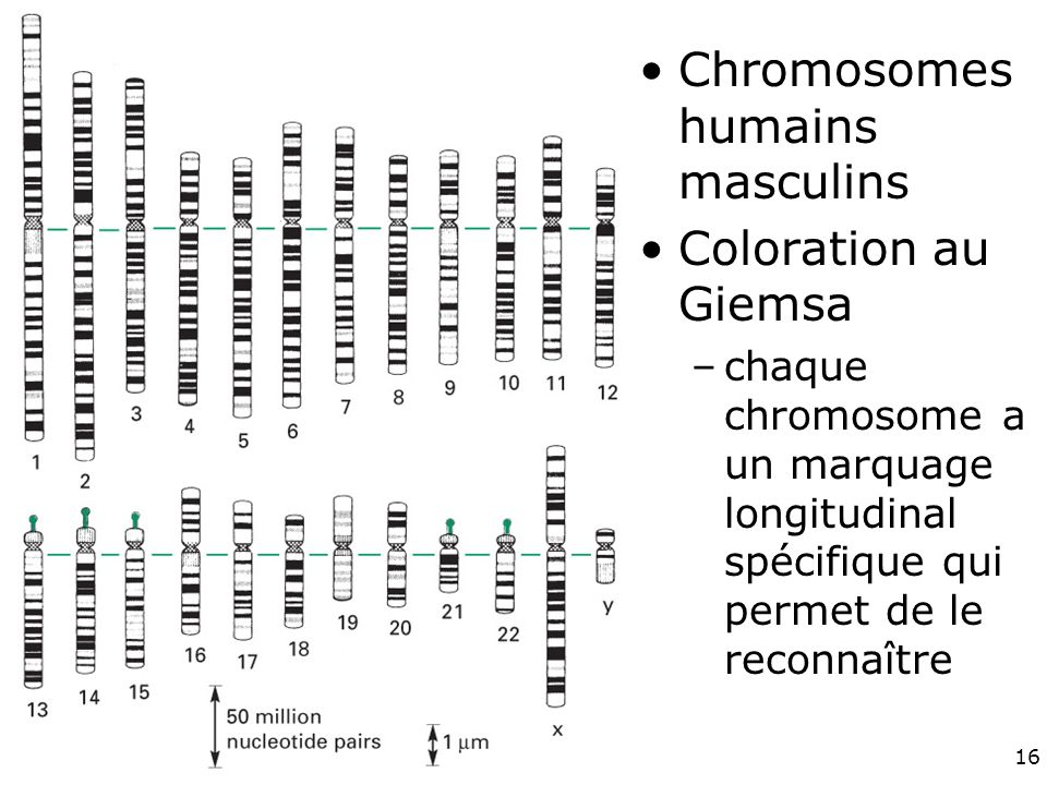 Fig 4-11 Chromosomes humains masculins Coloration au Giemsa