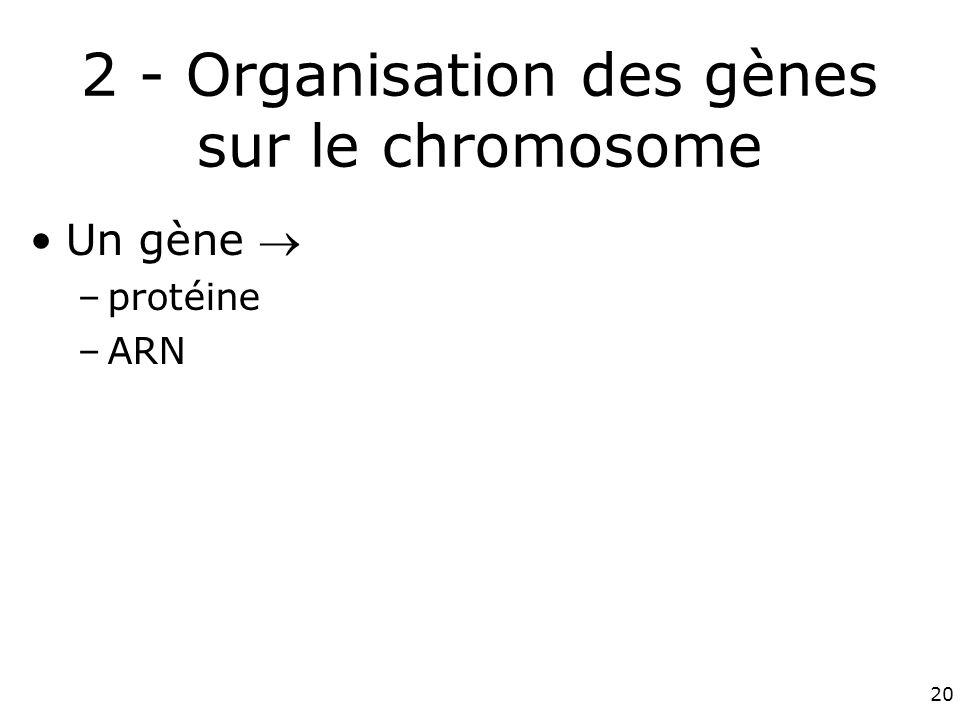 2 - Organisation des gènes sur le chromosome