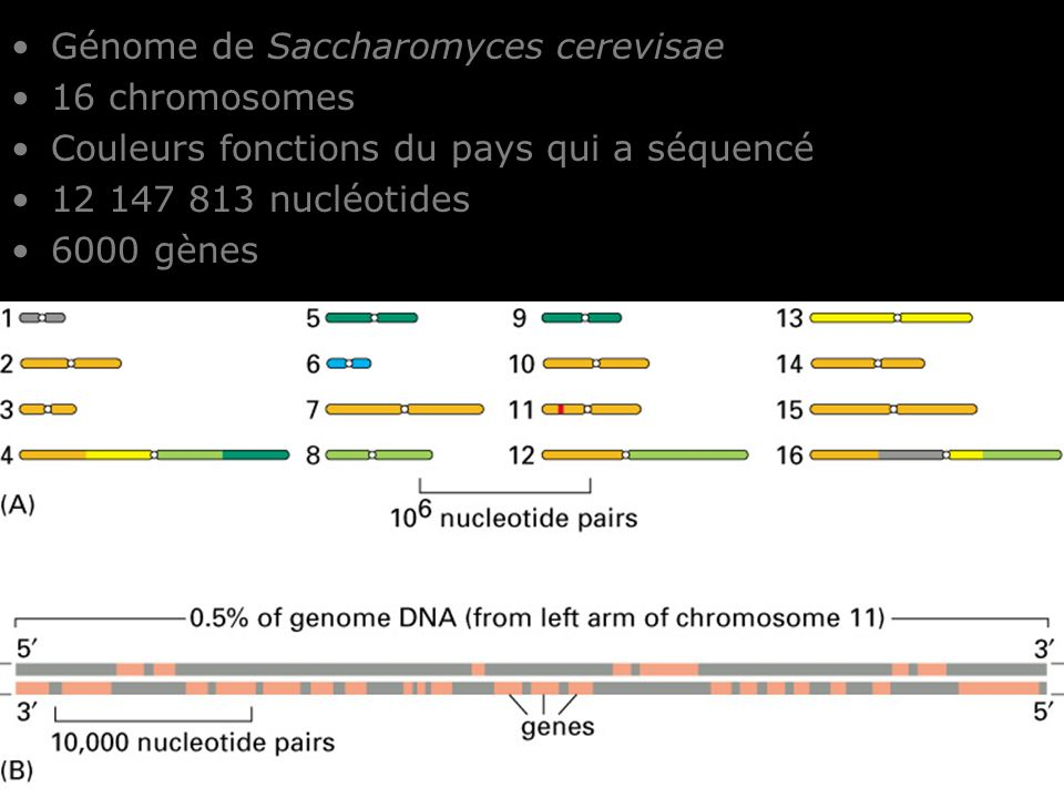 Fig 4-13 Génome de Saccharomyces cerevisae 16 chromosomes