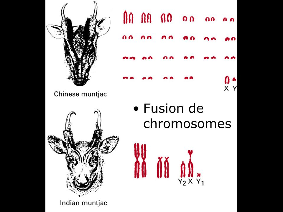 Fusion de chromosomes Fig 4-14