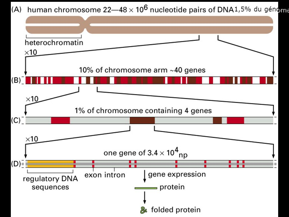 1,5% du génome Fig 4-15