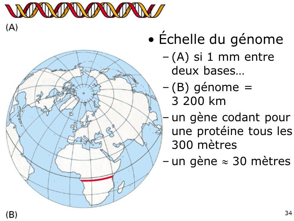 Fig 4-16 Échelle du génome (A) si 1 mm entre deux bases…